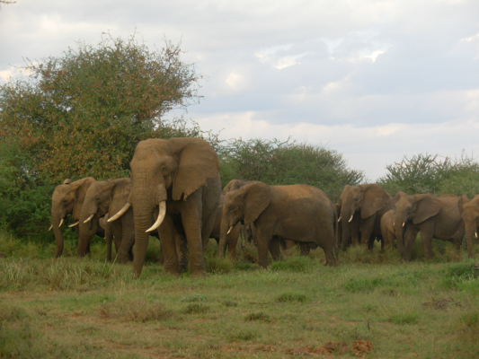 big-bull-elephant-1-1.jpg