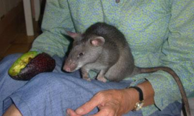 gambian-rat-2-1.jpg