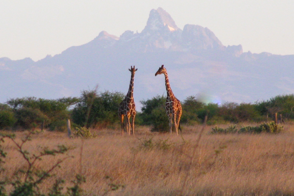 reticulated giraffe and mtkenya