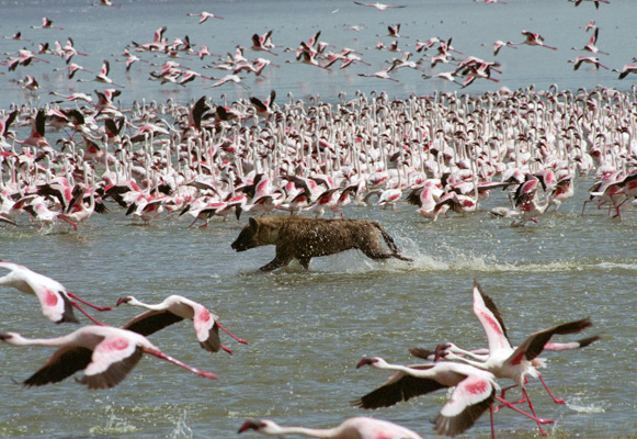 hyena-hunting-flamingos-3-1.jpg