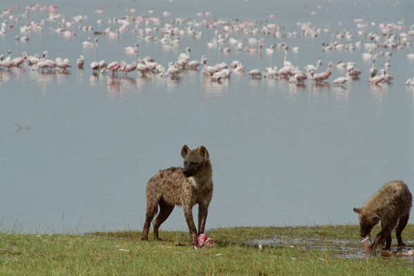 hyena hunting flamingos