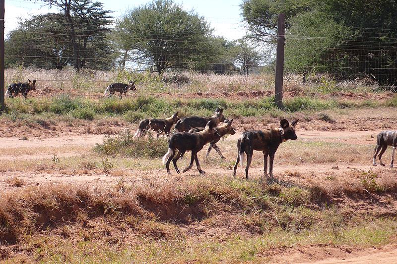 wild dogs in tumaren laikipia