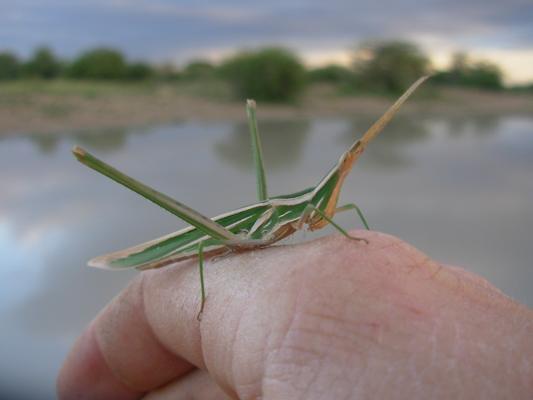 kenyagrasshoppers