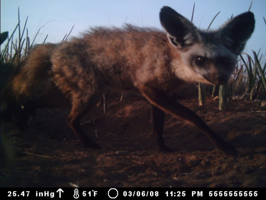 bat eared fox kid