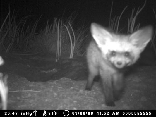 bateared fox cameratrap