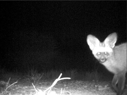 bat eared fox laikipia