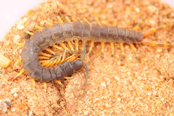 centipede-1.jpg