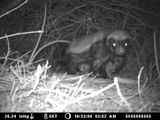 honeybadger laikipia