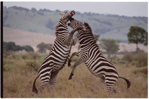 fightingzebra