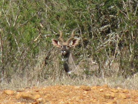 lesser kudu in laikipia