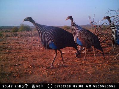 vulturine-1.jpg
