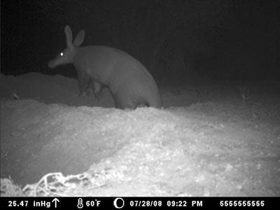 aardvark.jpg