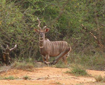 lesser_kudu3.jpg