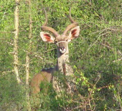 kudu_greater.jpg