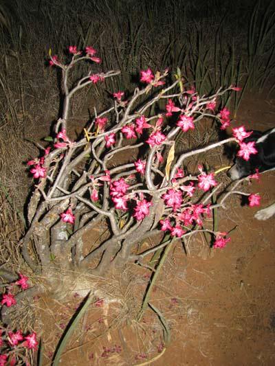 desert_rose1.jpg