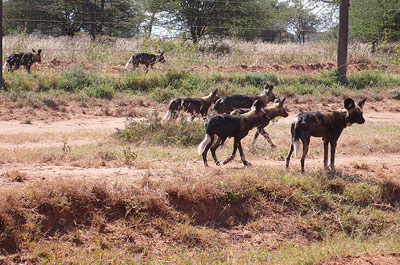 wild-dogs-pic_small1.jpg