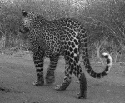 leopard1a.jpg
