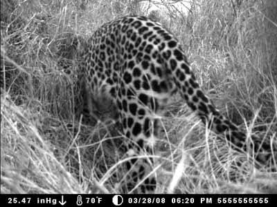 leopard1b.jpg