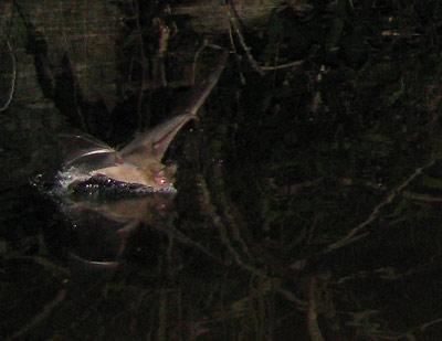 bat_closeup1.jpg