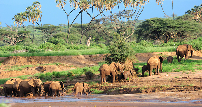 Samburu Elephants