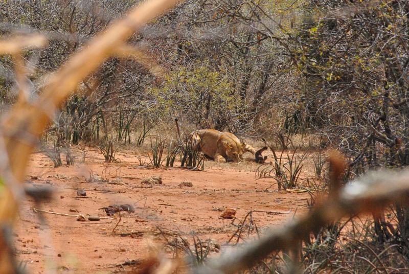 Lion Killing baby wilddog