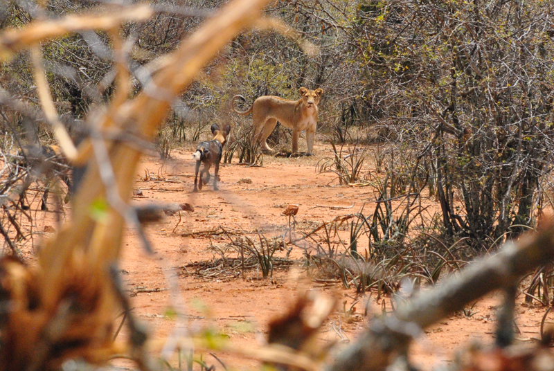 Lioness followed by Wilddogs