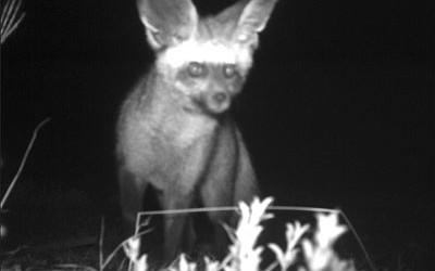 bat-ear-400x250.jpg