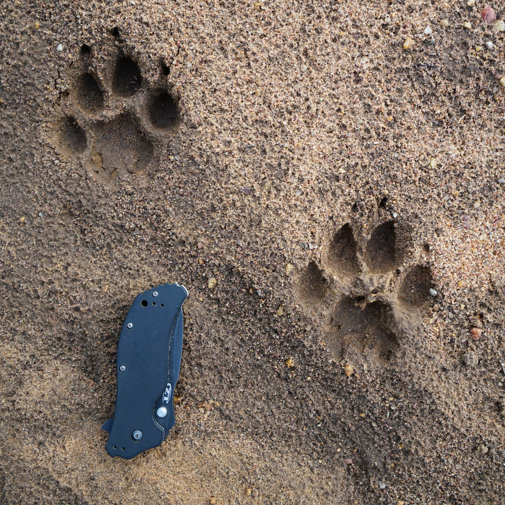 Tracking - Our Ndorobo trackers are among some of the best in the country and tracking is a large part of every walk we do. It is routine on our walks to track a predator till we get a good look or simply to decipher the stories left in the soil by the animals that roam past our camps.