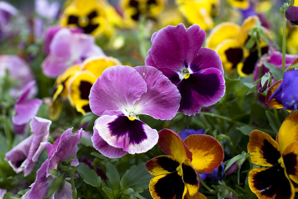 Pansies & Violas - Cool season annual