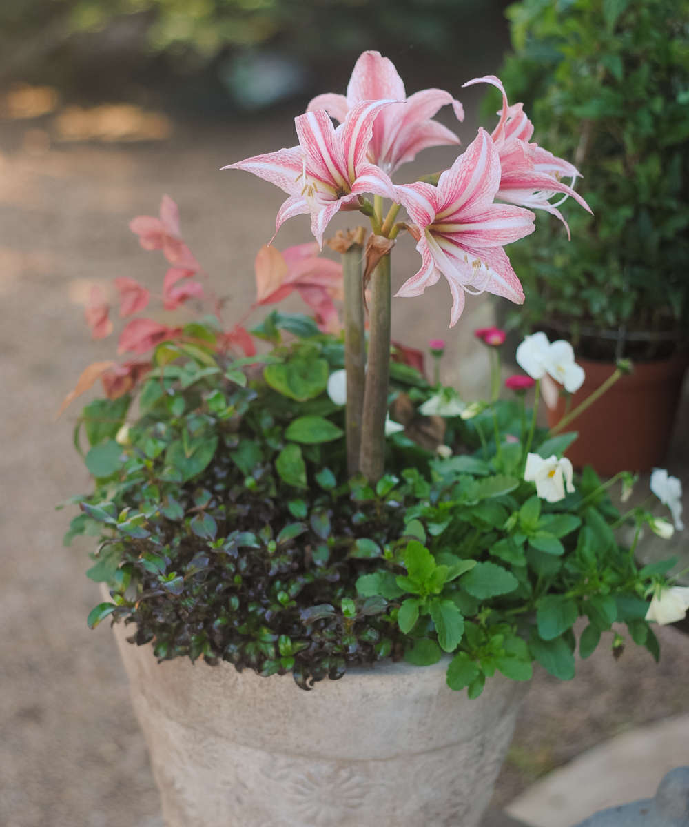 Every container must have a showstopper! The early spring container pictured above features a beautiful lily.
