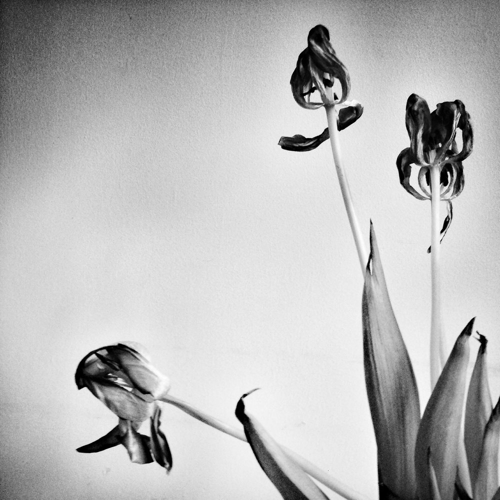 Open Tulips, 2014