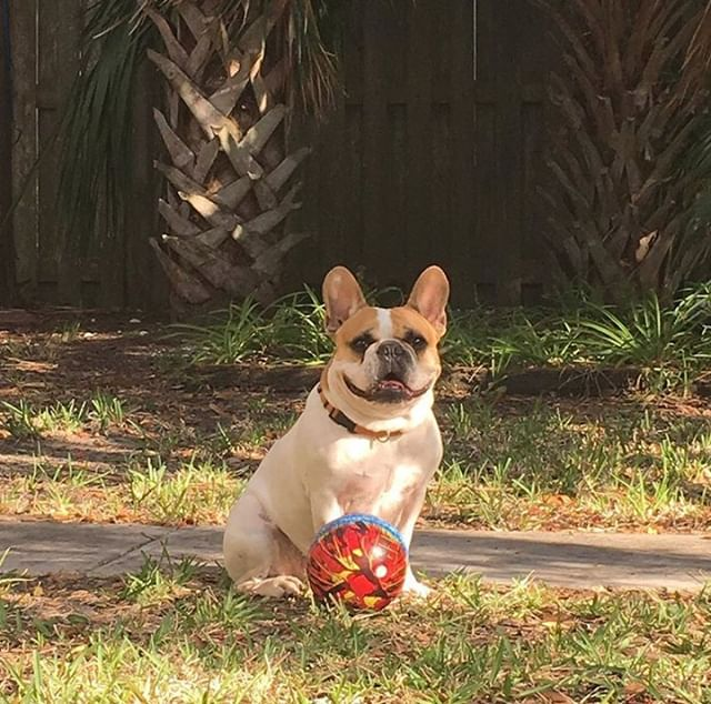 We hope everyone has a ball this weekend! From our party animal to yours, Happy Friday! ♥️, the Meerkat Team 🐶 #FrenchieFriday