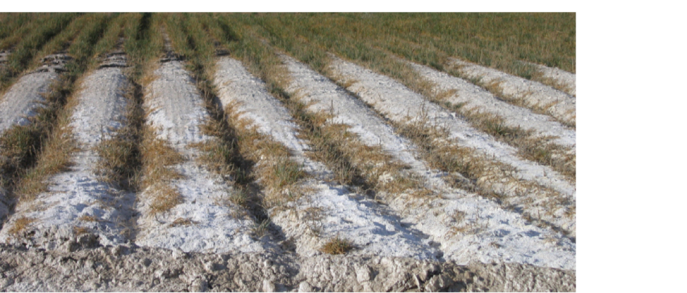 Visible effects of salinity on crop production in Grand Valley Colorado. Photo credit: Donald Suarez