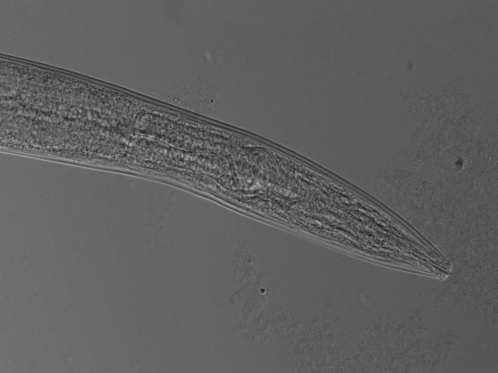 Omnivore nematode