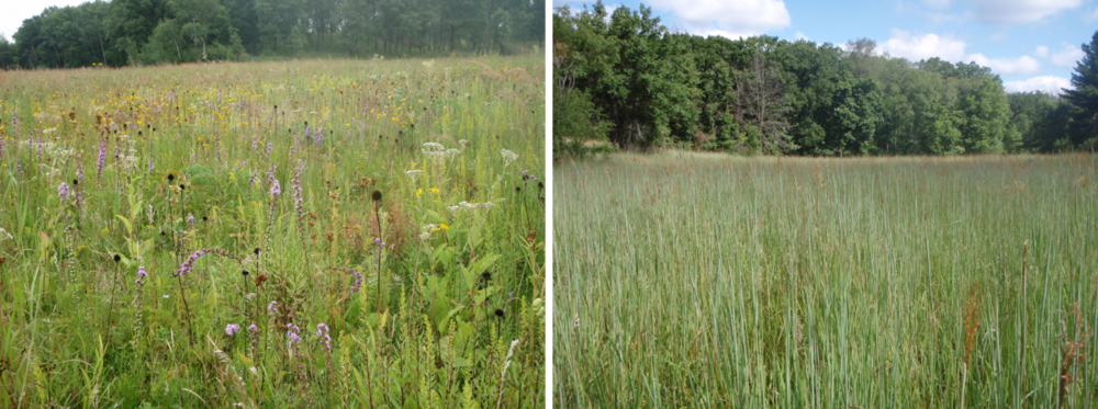 Tallgrass prairie restorations planted with high plant diversity (left) and low plant diversity (right). Photo credit: Ryan Klopf