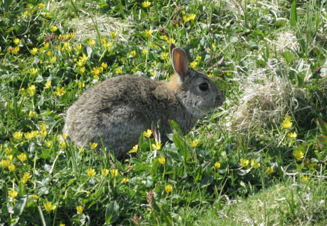 Terror of the undergrowth: A young rabbit on the Isle of May.   Photo by Water Andriuzzi