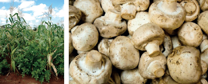 Left: Legume Gliricidia growing with maize in Zambia, Right: mushrooms. Photo credit: ICRAF, D. Endico