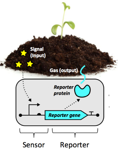 Microbial biosensors sense and environmental signal and, in response, produce a measurable reporter such as a gas. Image by E. Fulk