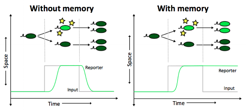 In standard biosensors without memory, microbes produce a reporter directly in proportion to the level of signal. In biosensors with memory, the reporter is induced by the first instance of the environmental cue and remains on thereafter. The top cartoon shows how these two scenarios compare at the level of individual microbes. The bottom graph illustrates how reporter production differs at the whole-sample level. Image by E. Fulk