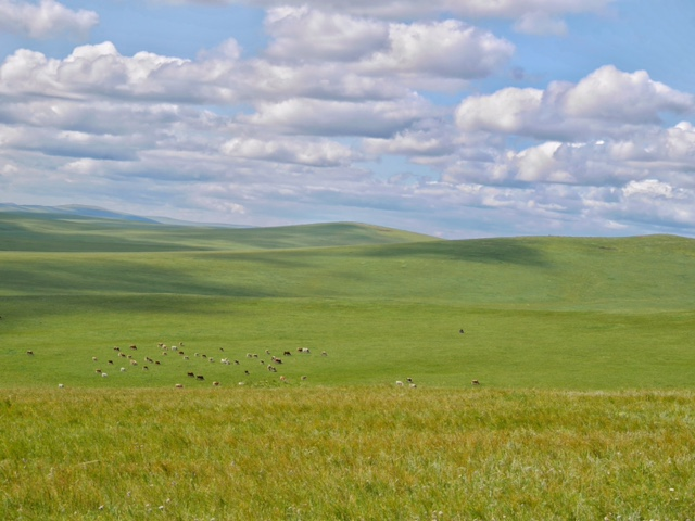 Cattle grazing in the meadow steppe grasslands of Inner Mongolia, China. Photo credit Jiqiong Zhou