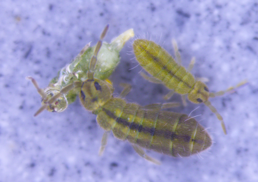 An  Isotomurus  springtail species. Alien species like these have, on average, greater resistance to high temperatures than their indigenous counterparts. Image: ChownLab, Monash University.