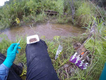An example of sediment sampling from streams used to characterise and quantify microbial taxonomic and functional diversity Image: H. Prentice