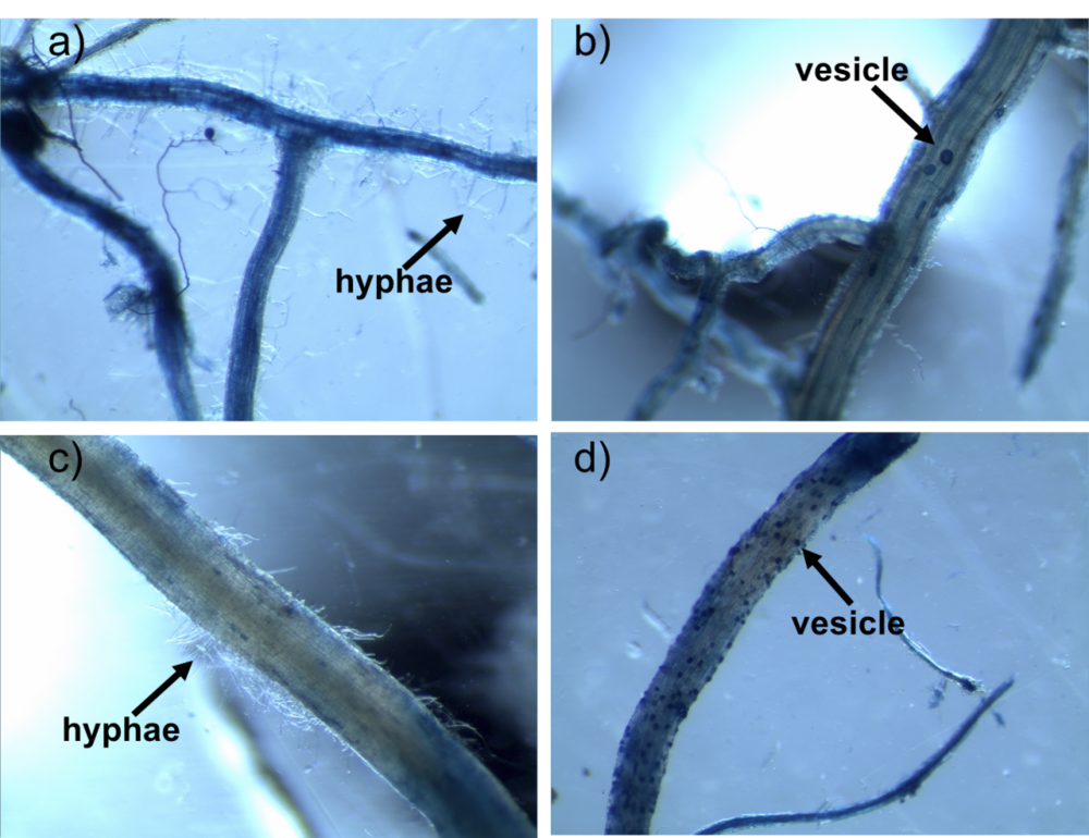 Examples of AM fungi hyphae (a, c) and vesicles (b, d) in corn (a, b) and prairie roots (c, d).  Image from Bach et al. 2018, Ecology