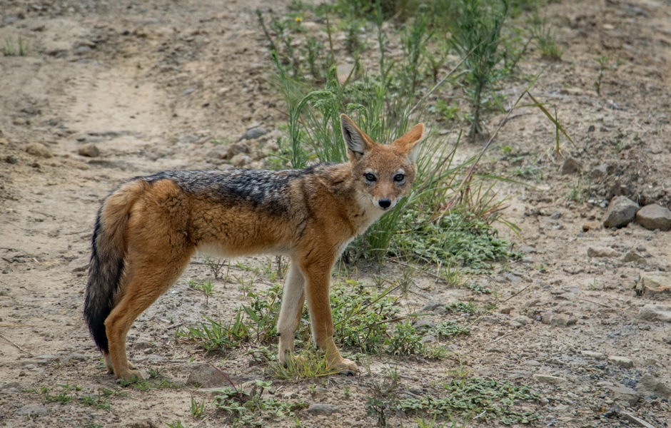 A curious black-backed jackal stops and stares before disappearing again. Photo by: J. Thoresen