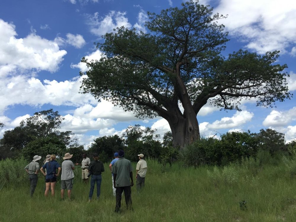 The team takes a moment to appreciate an ancient baobab tree ( Adansonia spp. ). Photo credit, Adam Cobb.