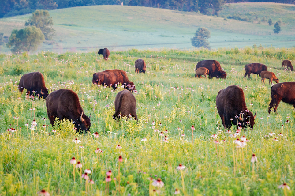 Bison were reintroduced to The Nature Conservancy's Nachusa Grasslands in Illinois, USA to increase habitat heterogeneity in restored tallgrass prairie.  Photo Credit: Dee Hudson