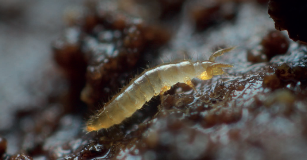 Protura - Proturans are small hexapods, closely related to Collembola and insects. They have no antennae or eyes and are found in moist, non-acidic soils. Proturans primarily eat fungal hyphae.