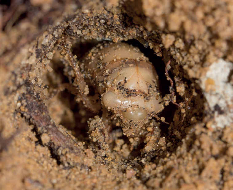 Larvae - Many insects lay their eggs in soil, where the larvae develop before emerging as adults that may primarily live aboveground. Cicada, fly, moth, and beetle larvae can all be important members of soil food webs.