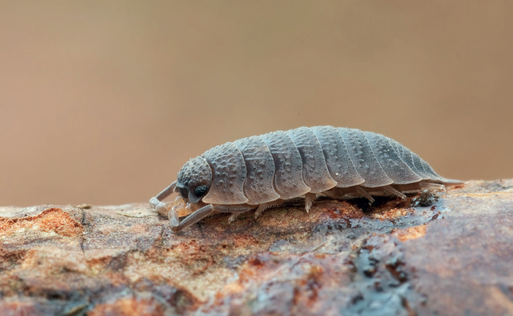 Isopods - Isopods are commonly called woodlice or pillbugs. They are actually an order of crustaceans with over 3,000 described species. They can be found in a wide-range of terrestrial habitats and are most active in evenings, overnight, or at dawn. Isopods feed on dead leaf litter and contribute significantly to decomposition in many ecosystems.