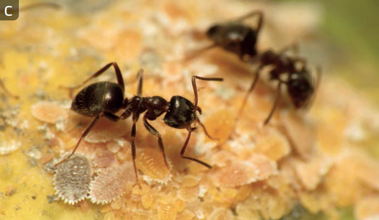 Ants: - Ants make up the insect family Formicidae. Ants are social insects and form nests in trees, on the soil surface, and underground. Some ants eat plants, others prey on other insects, and others are considered ominvores. There are about 14,000 species of ants described world-wide.